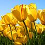 Tulips graphic